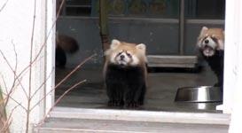 Roter Panda, Angst
