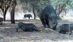 Warzenschwein, nashorn, Rhino, Warthog