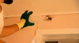 Riesenkrabbenspinnen, Toilette