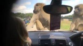 Safari Affen Motorhaube Sex