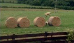 Schafe Heuballen Spaß