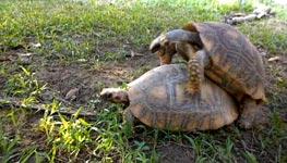Schildkröte, Orgasmus