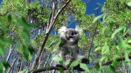 SCHO-KA-KOLA Schoko Koala