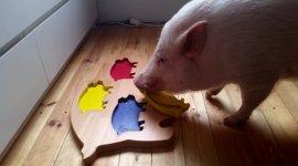 Schwein Moritz Puzzle