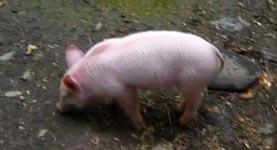 Tierischer Held - Schwein rettet Ziege