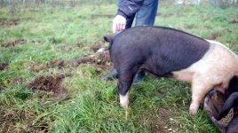 Ringelschwanz Schwein
