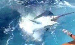 Schwertfisch springt ins Boot