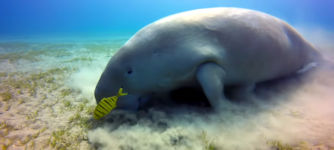 Dugong Seekuh