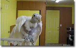 singender kakadu, Singing Parrot, ohne Federn