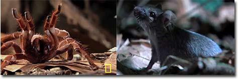 spinne, maus, tarantula, vogelspinne