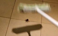Spinne Besen Babys