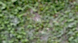 Netzbau einer Spinne im Zeitraffer