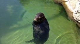 Silly, spinning Hawaiian Monk Seal