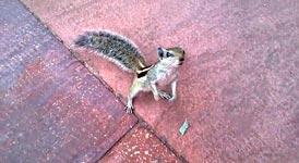 Streifenhörnchen, Attacke
