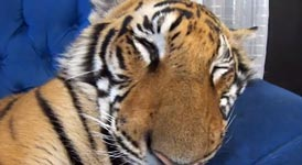 Tiger auf Couch