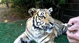 tiger, Zahn ziehen