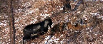 Tiger Ziege Freundschaft