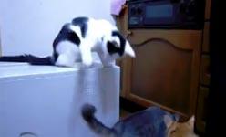 troll cat, Katze, Kampf