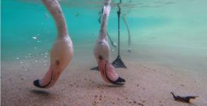 Flamingo Fütterung