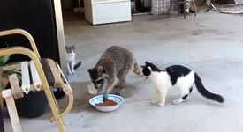 waschbaer klaut katzen das futter und schleicht sich davon