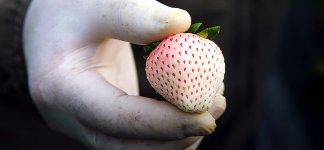 Weiße Erdbeeren Japan