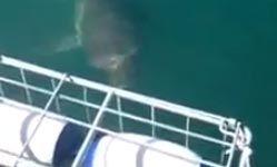 Great White Shark gets head into Shark Diving Cage