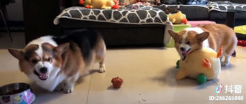Welsh Corgi Fight