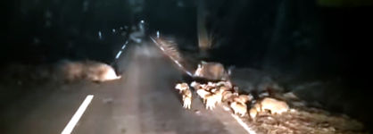 Wildschwein Nacht Straße Wald