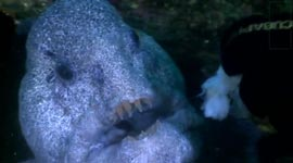 Meeting the incredible Wolf Eel