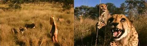 Marlice van der Merwe, Wild Cheetahs