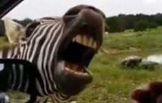 Zebra singt